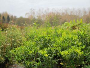 Plantes des pépinières du luy