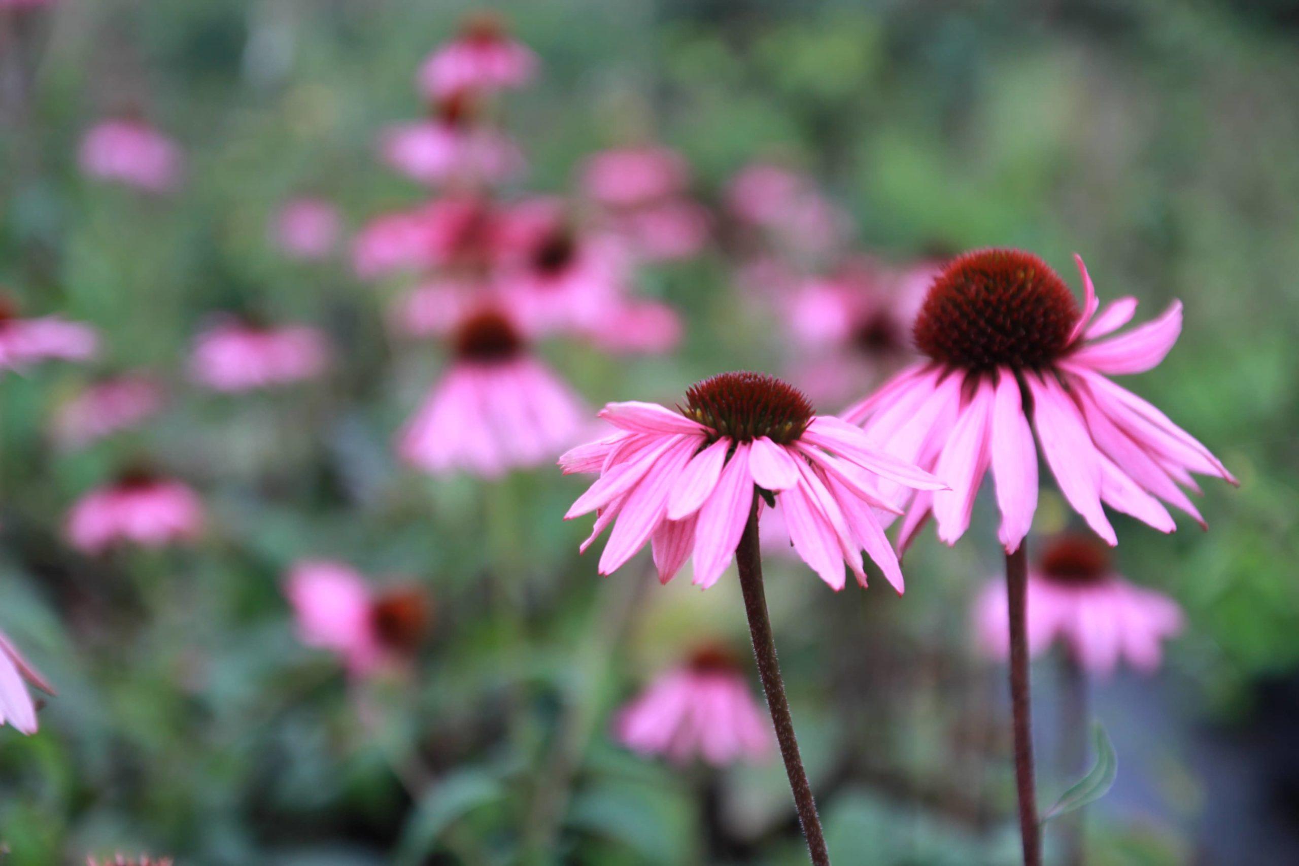 Fleurs pépinières du luy